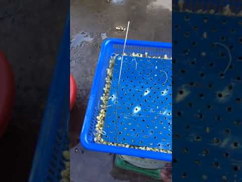 Máy làm giá sạch tự động mini Tâm Xanh- 0972723489