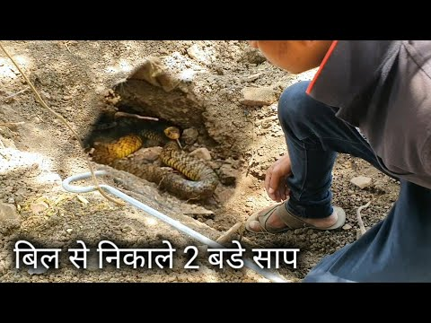 बहुत भगाया इन दोनों सापों ने   Rescue 2 indian rat snake from Ahmednagar, maharashtra