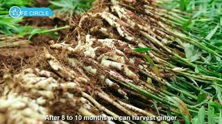 Ginger Cultivation - Ginger Farming and Harvesting - Japan Agriculture Techonolgy