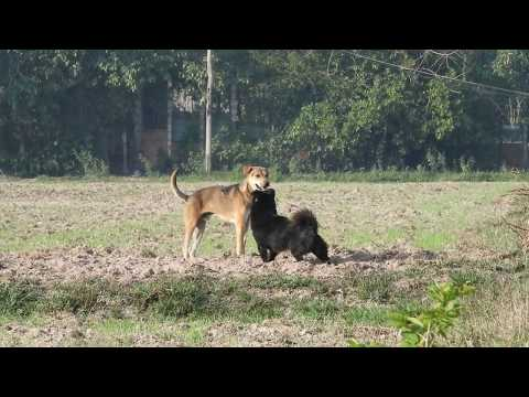 Happy Play, Indian pariah dog with German spitz Mittel on the field