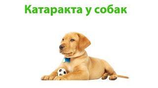 Катаракта У Собак & Симптомы Катаракты У Собак. Ветклиника Био-Вет