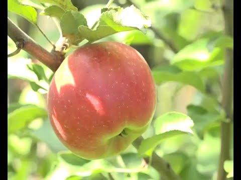 Яблочное изобилие — подарок этого лета
