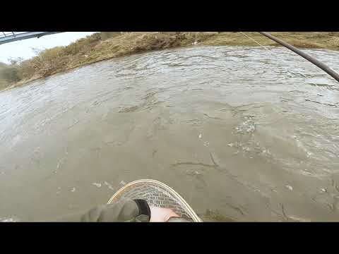 Rainbow Trout And Chub On Nymph, Poprad River, Slovakia