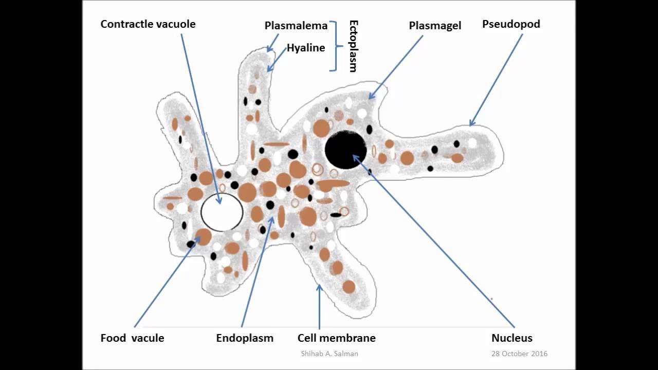 small resolution of draw amoeba proteus dr shihab a salman