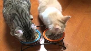 犬食いはしません、猫だもの。肉球を上手に使ってごはんを食べる猫たちの映像総集編