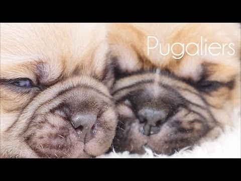 Pugaliers Puppies June 2016