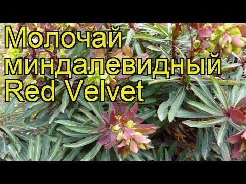 Молочай миндалевидный Ред Велвет. Краткий обзор, описание euphorbia amygdaloides Red Velvet