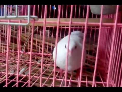 Chim cu gáy bạch tạng