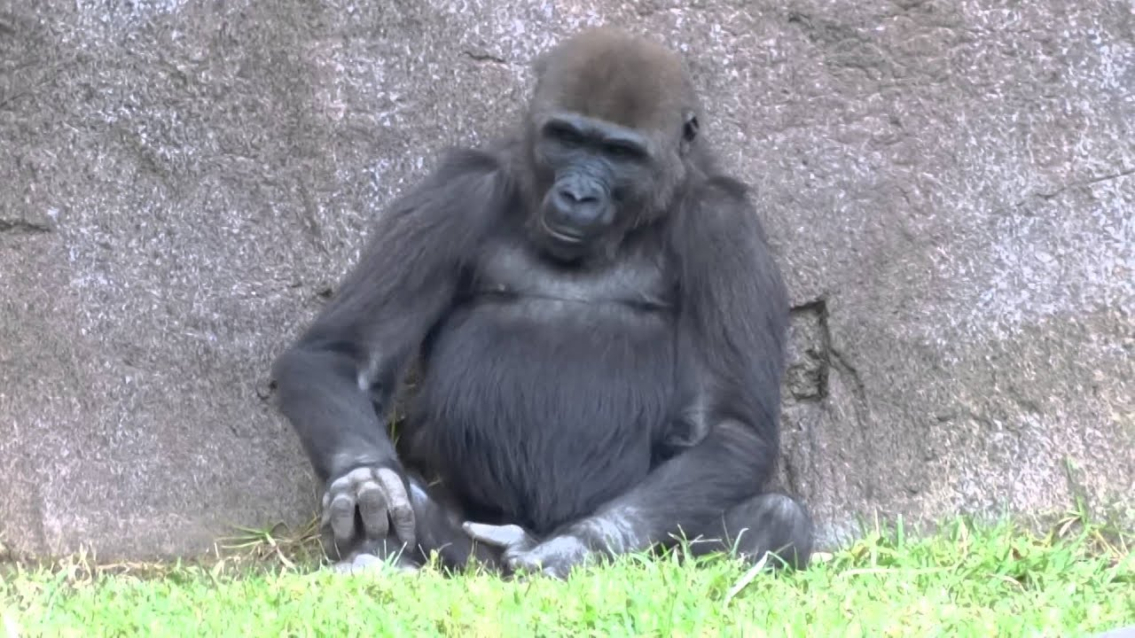 San Diego Safari - Angry Gorilla beating her chest - YouTube - photo#48