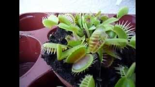 Цветок который ест мух Венерина Мухоловка ( Dionaea muscipula)(, 2012-08-17T12:19:35.000Z)