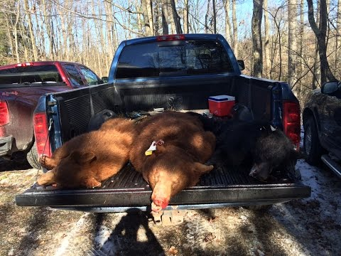 Pennsylvania Bear Hunting 2016 + 2 Cinnamon Phase Bears