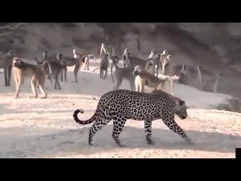 Бабуины против диких собак, львов, леопардов, крокодилов