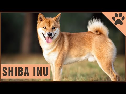 Shiba Inu Dog Breed  Important Information