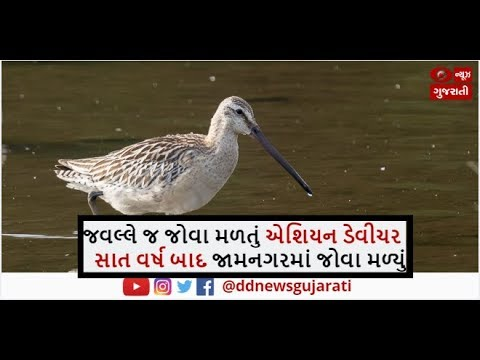 Very Rare Asian Dowitcher Bird Seen In Jamnagar