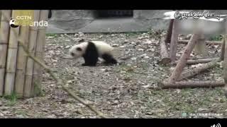En sevdiği oyuncağı alınan Ponçik PANDA'nın kendini yerden yere atması