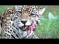 Jaguar VS Turkey Drum