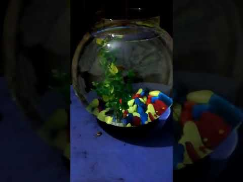 Gold fish bowl aquarium