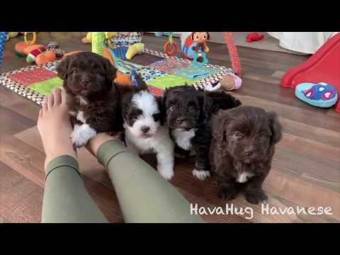 HavaHug Havanese Puppies