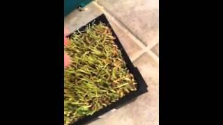 Guinea Pig Ate All The Grass! D: