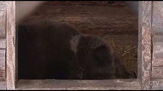 Медведь Фёдор спрогнозировал суровую зиму