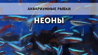 Аквариумные рыбки. Неоны.