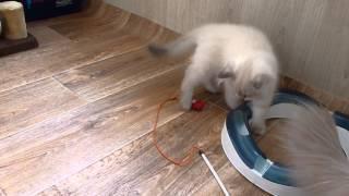Невский маскарадный котёнок. Питомник Злато Зиберио.Армани 2,5 м играет, за кадром Мариша