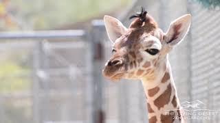 Baby Giraffe at The Living Desert