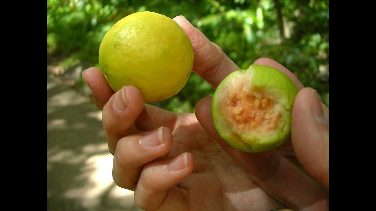 que clase de fruta es la guayaba