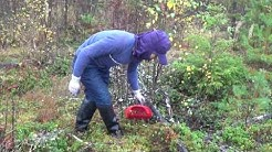 Picking wild berries and mushrooms in Finland