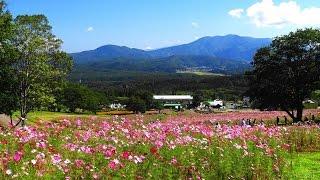 満開の黒姫高原コスモス園