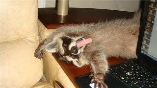 Эй ЕНОТ? ))) Смешные еноты #1. Смешно до слёз!!! Видео #1 YouTube