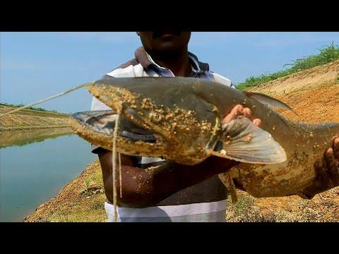 Fish Hunting//Amazing Big Wallego Fish Catching//in Best Village Fish Hunting.