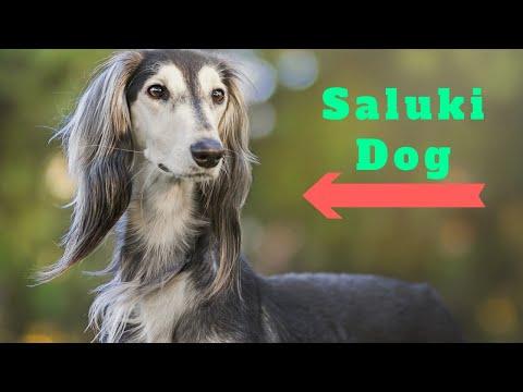Saluki Dog | amazing facts in hindi | Animal Channel Hindi