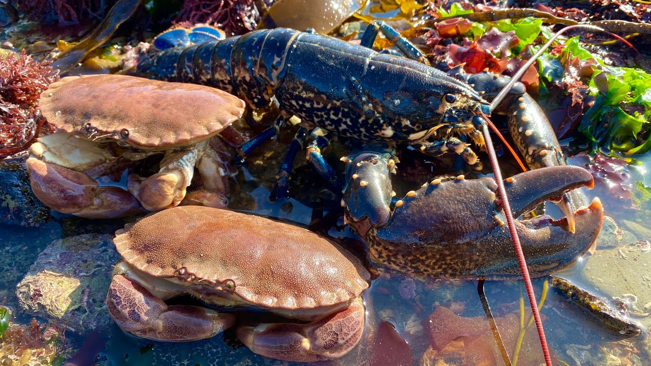 Coastal Foraging - Lobster, Crabs, and Amazing Sea Creatures with Beach Camp Cookup