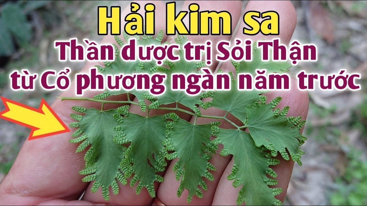 Bài thuốc trị Sỏi thận, Sỏi bàng quan,Tiểu buốt, Táo bón. PHAN HẢI channel.
