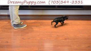 Dreamy Puppy - Miniature Pinscher Boy