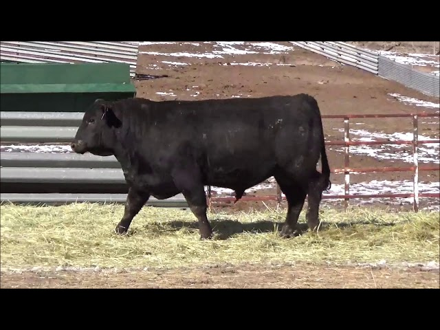 Connealy Angus Lot 467