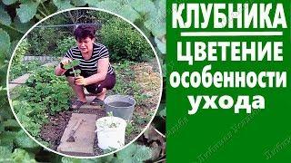 видео Как вырастить клубнику