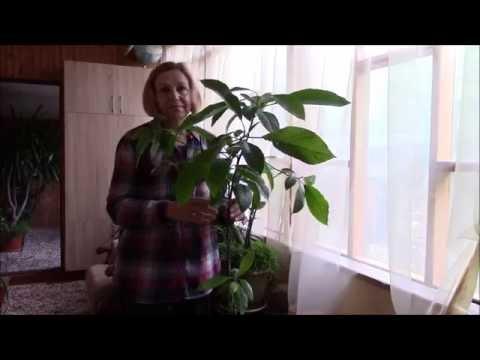 Авокадо.  Что любит деревце авокадо?  Как ухаживать?