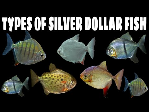 5 Different Types Of Silver Dollar Fish