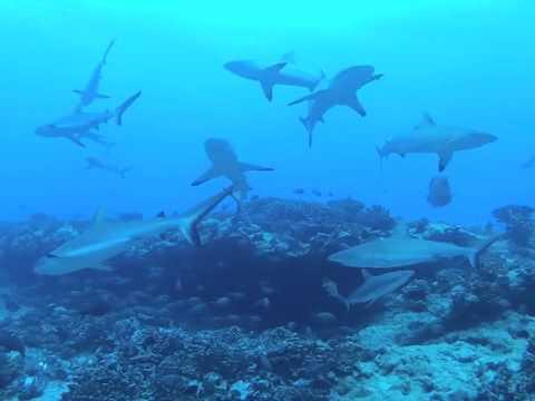 Mur de requin passe-nord Fakarava