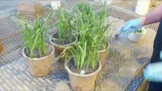 Rub-inoculation of wheat with wheat streak mosaic virus (WSMV)