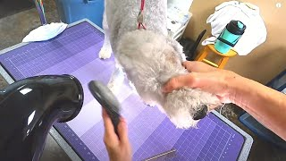 NEW EMPLOYEE WITH 30 YEARS EXPERIENCE GROOMS A BEDLINGTON TERRIER
