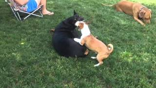 Doberman Pinscher Playing With Small Terrier And Pitbull