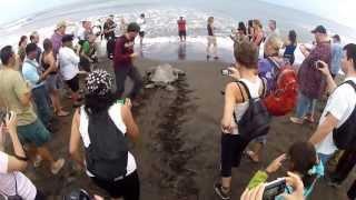 Sea Turtle Laying Eggs - Tortuguero National Park, Costa Rica