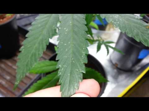 How to identify and treat thrips on cannabis