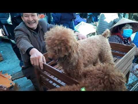 Phoodle, pets, Alaska, Phoc Sóc, chó mèo cảnh vô cùng dễ thương