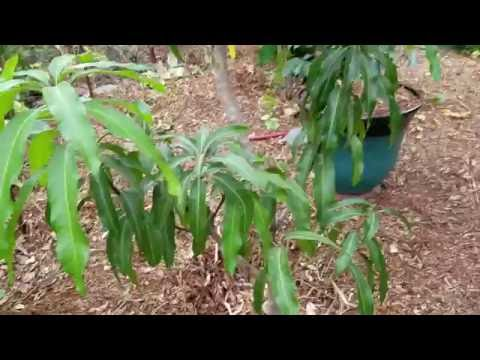 Mango Trees Will Fruit Here In The Full Sun And Full Shade Check Em Out