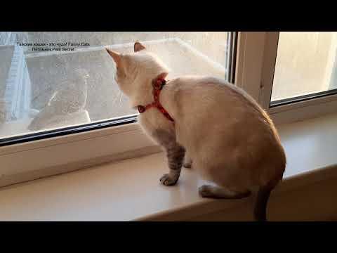 Как тайская кошка Шони наблюдала за голубями! Тайские кошки - это чудо! Funny Cats
