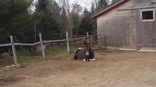 Buckshot laying down, abscess